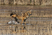 Golden Jackal (Canis aureus), also called the Asiatic, Oriental or Common Jackal. attempting to hunt a common crane (Grus grus), Photographed in the Hula Valley, Israel in February