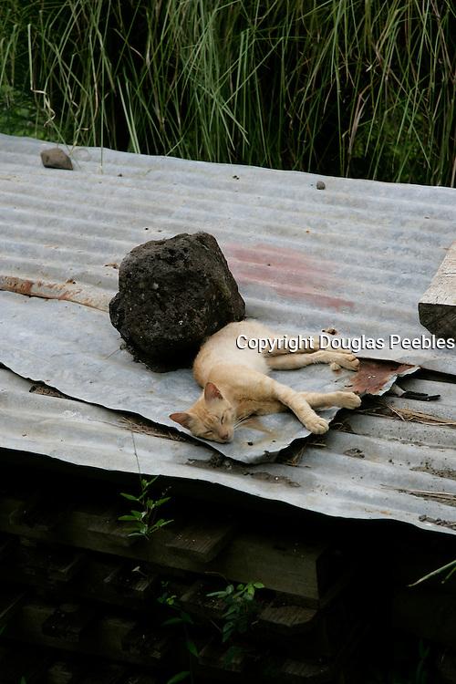 Cat on hot tin roof, Hanavave, Island of Fatu Hiva, Marquesas Islands, French Polynesia<br />