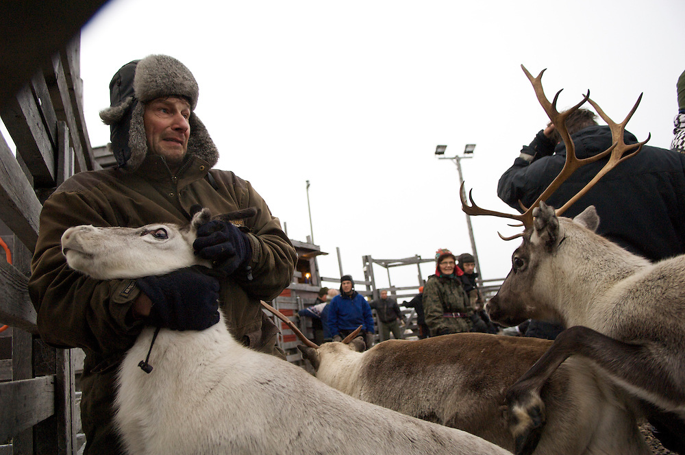Matti Nakkallarve, 51, corrals reindeer during the first roundup of the year.  Despite the inhospitable Arctic climate reindeer herding has been the livelihood of the Sami for hundreds of years, but amid the economic, technological, and environmental problems of modern society their indigenous culture must increasingly reconcile these radical changes in order to preserve age-old traditions, customs, and mores.