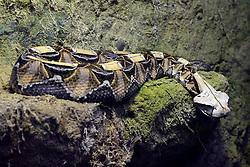 THEMENBILD - Westliche Gabunviper oder Gabunotter (Bitis gabonica rhinoceros), Portrait, Giftschlange, Vorkommen in Westafrika, captive // Western Gabonviper or Gabunotter (Bitis gabonica rhinoceros), portrait, poison snake, occurrence in West Africa, captive. EXPA Pictures © 2017, PhotoCredit: EXPA/ Eibner-Pressefoto/ Schulz<br /> <br /> *****ATTENTION - OUT of GER*****