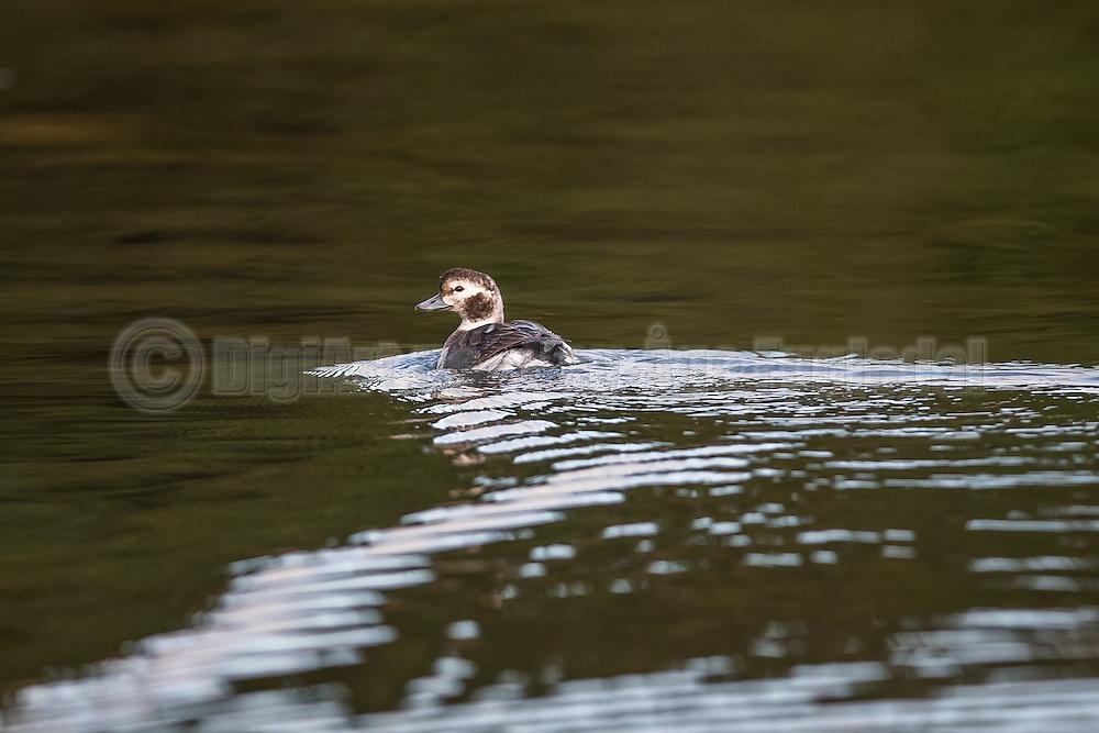 Long Tailed Duck swimming in the sea   Havelle svømmer i sjøen