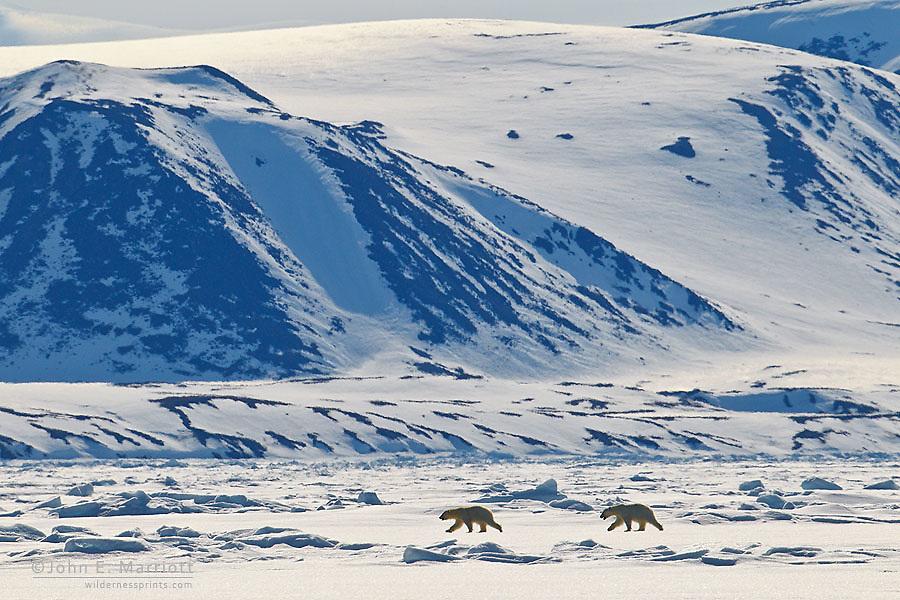 Polar bear mother and cub walk along the polar sea ice in front of Baffin Island, Nunavut, Canada