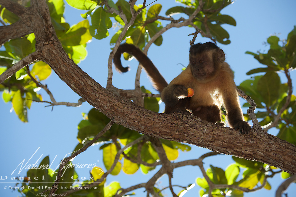 Tufted Capuchin feeding on the fruit of a cashew nut.  Parnaiba Headwaters National Park, Brazil.