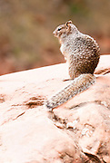 A squirrel sits on a rock in Zion National Park, Utah Missoula Photographer