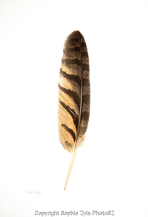 Great Horned Owl Wing Feather