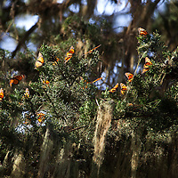 USA, California, Monterey. Monarch Butterflies at Monarch Grove Butterfly Sanctuary.