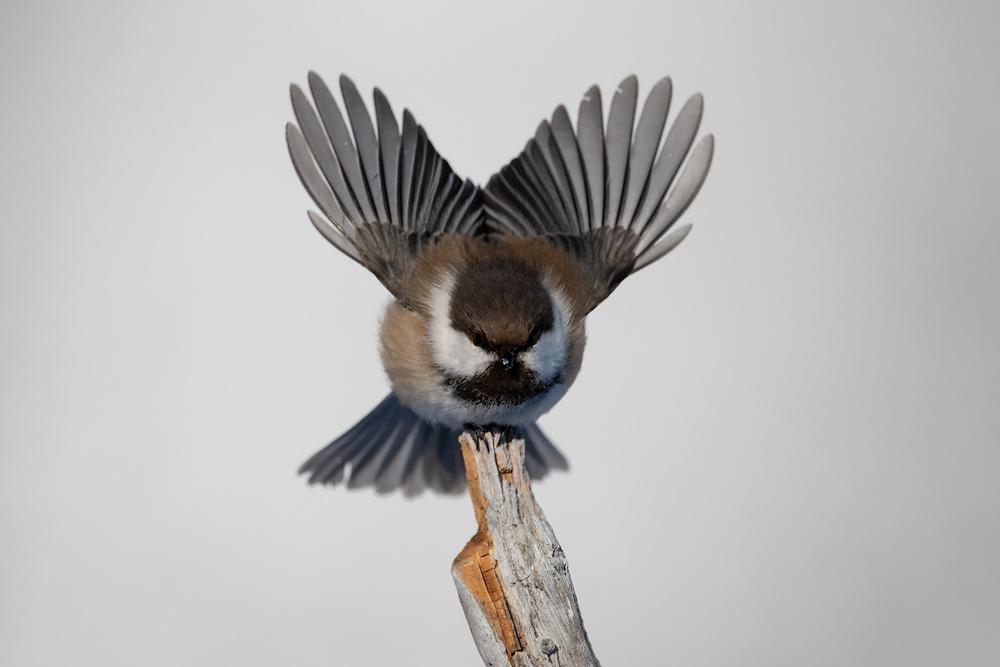 Boreal tit, or Grey-capped Chickadee, Parus or Poecile cinctus lapponicus, Varanger Peninsula, Arctic Norway