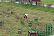 Farmer works in a field picking pumpkins. Photographed in Neustift, Tyrol, Austria