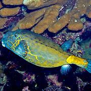 Yellow Boxfish inhabit reefs. Pictue taken Raja Ampat, Indonesia.
