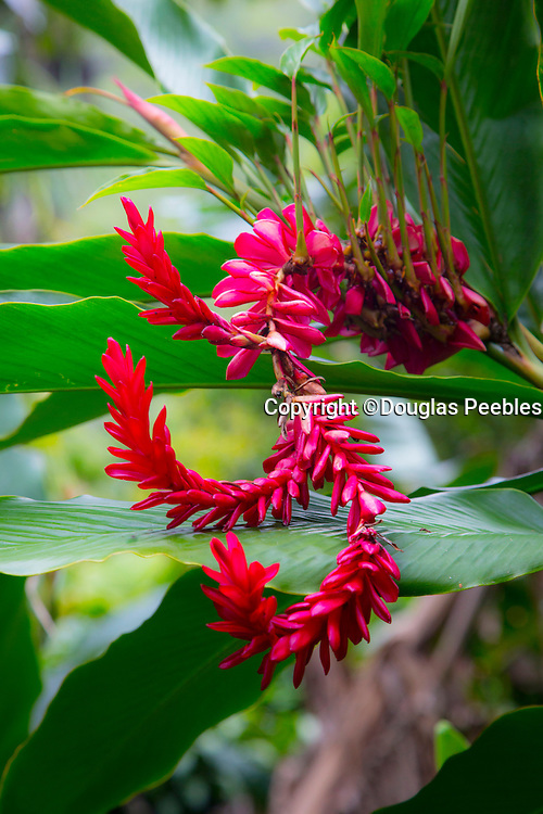 Red Ginger Flower, Waipio Valley, Big Island of Hawaii