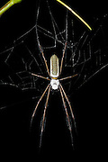 Golden Silk Spider (Nephila clavipes)<br /> Yasuni National Park, Amazon Rainforest<br /> ECUADOR. South America<br /> HABITAT & RANGE: