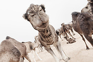 Funny closeup of a camel face focusing on the mouth. High key, shallow dept of field image.
