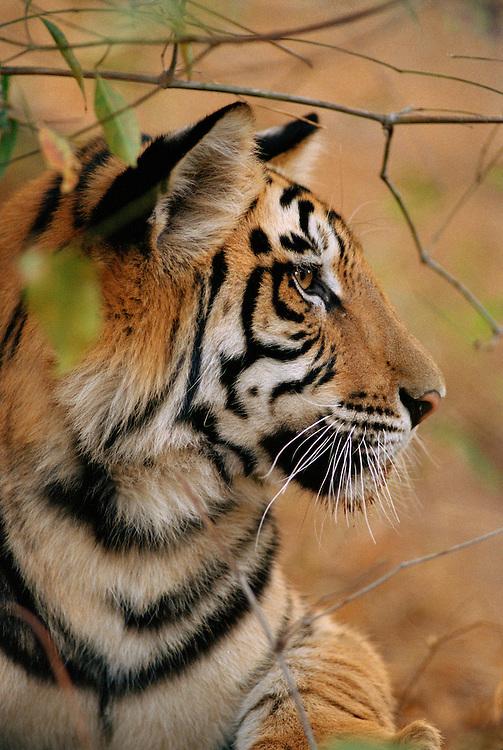 Bengal Tiger, Panthera tigris, Kanha National Park, India