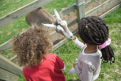 Children feeding at a goat on a visit to a city farm,