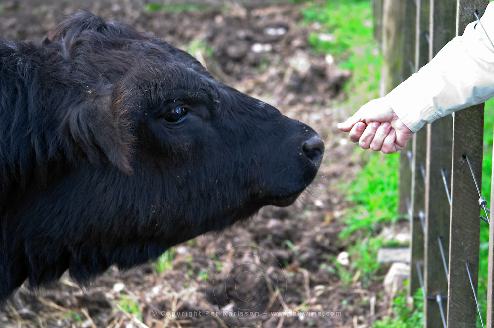 A hand out stretched as if too feed a black angus bull, head of bull fence, profile Montevideo, Uruguay, South America