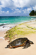 A Hawaiian Green Sea Turtle resting on the North Shore of Oahu.
