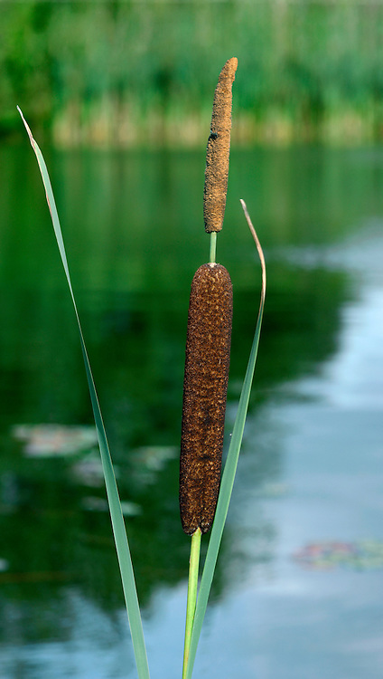 LESSER BULRUSH Typha angustifolia (Typhaceae). Height to 2m. Similar to Bulrush (aka Lesser Reedmace). Grows in freshwater margins. Flowers in spikes, comprising a brown, sausage-like array of female flowers separated by a gap from a narrow, terminal spire of male flowers (June-Aug). Fruits with cottony down. Leaves dark green, long, 3-6mm wide. Status locally common.