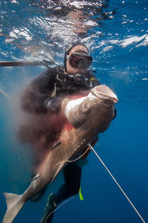 A spearfisherman secures his catch, a cobia, rachycentron canadum, offshore Jupiter, Florida, United States