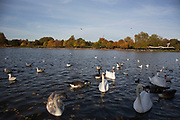 Autumn scene with swans, geese and other birds at The Serpentine in Hyde Park, London, England, United Kingdom. Trees during the fall season discolour, turning yellow and brown before dropping. With low light this makes for a beautiful time of year.
