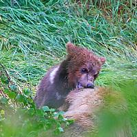 USA, Alaska, Katmai. Grizzly bear cub play bites mother.
