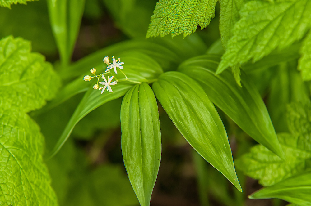 This unlikely member of the lily family is easily overlooked. Tiny white flowers, low growth, and most often-unnoticed as green forest carpeting, this extremely adaptable water-loving perennial can be found all over Canada, and almost all over the United States except for Texas and the Southeastern states.