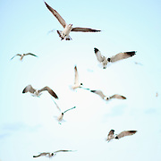Seagulls flock for food at Wrightsville Beach, NC.