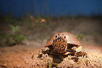 Female European Pond Turtle (Emys orbicularis) is crossing a road to reach breeding grounds to lay their eggs, Gornje Podunavlje Special Nature Reserve, Serbia