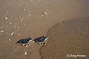 Australian flatback sea turtle hatchlings, Natator depressus, ( endemic to Australia & southern New Guninea ) crawl down nesting beach and enter ocean, Crab Island, off Cape York Peninsula, Torres Strait, Queensland, Australia