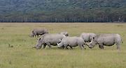 Kenya, Lake Nakuru National Park, White Rhinoceros or Square-lipped rhinoceros (Ceratotherium simum)