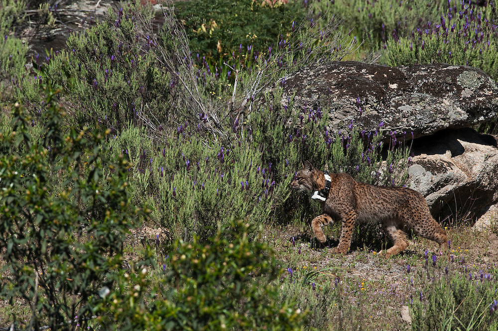 Iberian Lynx (Lynx pardinus) Male one year old with GPS tracking collar<br /> Sierra de Andújar Natural Park, Mediterranean woodland of Sierra Morena, north east Jaén Province, Andalusia. SPAIN<br /> RANGE: Iberian Penninsula of Spain & Portugal.<br /> CITES 1, CRITICAL - DANGER OF EXTINCTION<br /> Fewer than 200 animals in the wild. There is a reduced genetic variability due to their small population. They have suffered due to hunting, habitat loss and road accidents, but the most critical threat today is the reduced numbers of wild Rabbits (Oryctolagus cuniculus) within the lynx's range. The rabbits are the principal food source of the lynx and they are suffering from deseases such as Myxomatosis & Rabbit haemoragic virus. The lynx is also suffering from deseases such as feline leukaemia<br /> A medium sized cat weighing 12-15kgs, Body length 90cm, Shoulder height 45-50cm. They have a mottled fur pattern, (3 varieties of fur pattern found between the different populations and distinguishing them geographically)  short tail, ear tufts and are bearded. They are territorial cats although female cubs have been found to share their mother's territory. Mating occurs in Dec/Jan and cubs born around April. They live up to 13 years.<br /> <br /> Mission: Iberian Lynx, May 2009<br /> © Pete Oxford / Wild Wonders of Europe<br /> Zaldumbide #506 y Toledo<br /> La Floresta, Quito. ECUADOR<br /> South America<br /> Tel: 593-2-2226958<br /> e-mail: pete@peteoxford.com<br /> www.peteoxford.com