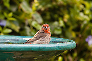 House Finch at the Bath.  My birdbath in my yard.