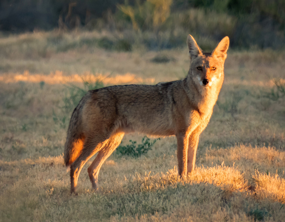There were two of them this morning pouncing around trying to scare up game. About a minute after I shot this photo a jackrabbit was running at me full speed so close I could hear its feet hitting the ground, loud like horse hooves, with the coyotes in hot pursuit. The jackrabbit veered off to the right and past me. The coyotes gave up the chase not wanting to invade my space.<br /> <br /> I had an almost identical experience with a cotton tail and coyotes a few years ago, and also with a bird being chased by a hawk. I'm convinced that animals will sometimes run past you very close in order to shake off predators.
