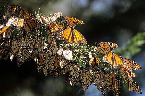 Monarch Butterfly (Danaus plexippus) migrating through southern California.