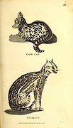 Ocelot from General zoology, or, Systematic natural history Part I, by Shaw, George, 1751-1813; Stephens, James Francis, 1792-1853; Heath, Charles, 1785-1848, engraver; Griffith, Mrs., engraver; Chappelow. Copperplate Printed in London in 1800. Probably the artists never saw a live specimen