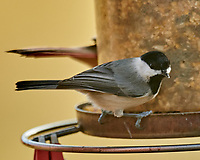 Black-capped Chickadee (Poecile atricapillus). Image taken with a Nikon D850 camera and 600 mm f/4 VR lens.