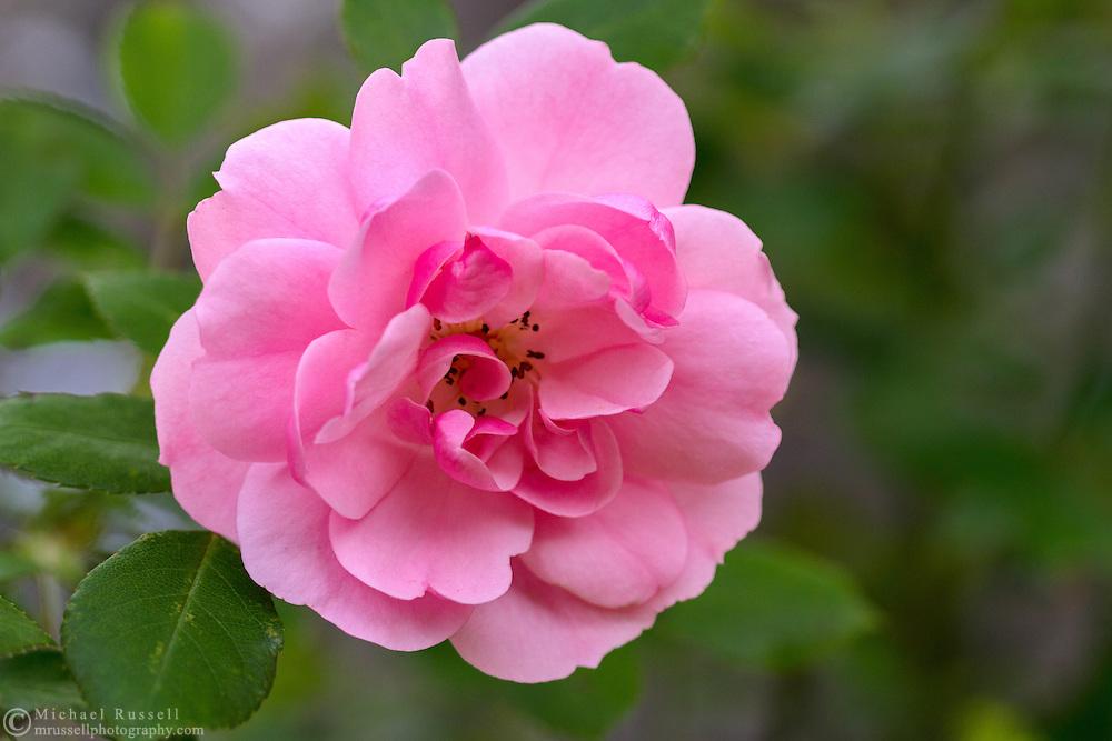 A 'Bonica' Rose blossom in a backyard garden