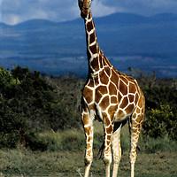 Africa, Kenya, Nanyuki.