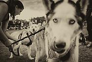 Close up of husky dog at dog show