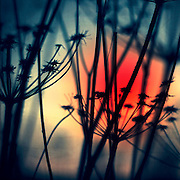 Silhouettes of dry weeds at sunrise on a frosty winter morning - manipulated texturized photograph<br /> Redbubble Prints & more: http://rdbl.co/2dOl0YV