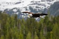 bald eagle flies over the mountains in alaska