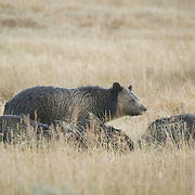 Grizzly Bear (Ursus horribilis) mother and cubs in Yellowstone National Park.