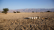 Eggs in a nest of a Common Ostrich (Struthio camelus) on the ground. The eggs can be seen in the foreground. Photographed at the Hai Bar reintroduction center, Arava, Israel