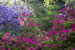 Rhododendrons and Azaleas in the woodland garden at Greencombe, Porlock, Somerset