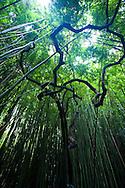 The Bamboo Forest in the Oheo Gulch (Seven Sacred Pools) near Hana, Maui, HI, USA in Haleakala National Park