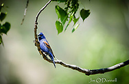 Blue Grosbeak captured at Mills Canyon, New Mexico in May 2019