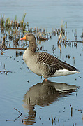 Greylag Goose, Anser anser, Stodmarsh National Nature Reserve, UK, open water, adult, winter