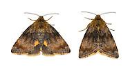 73.048 (2397)<br /> Small Yellow Underwing - Panemeria tenebrata