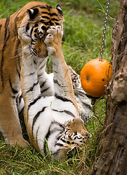Grace, bottom, one of the four new tigers at the Oakland Zoo, seems to be telling one of her fellow felines to stay away from a post-Halloween treat in her enclosure: a large pumpkin, Thursday, Nov. 17, 2011 in Oakland, Calif. Many different area stores donate their surplus pumpkins to the zoo, who then pass them along to some of the animals, including baboons, sun bears, tigers and the elephants, who consider them a delicacy. (D. Ross Cameron/Staff)