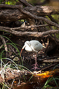 American White Ibis (Eudocimus albus) at the Key West Botanical Garden on Stock Island, Key West, Florida.