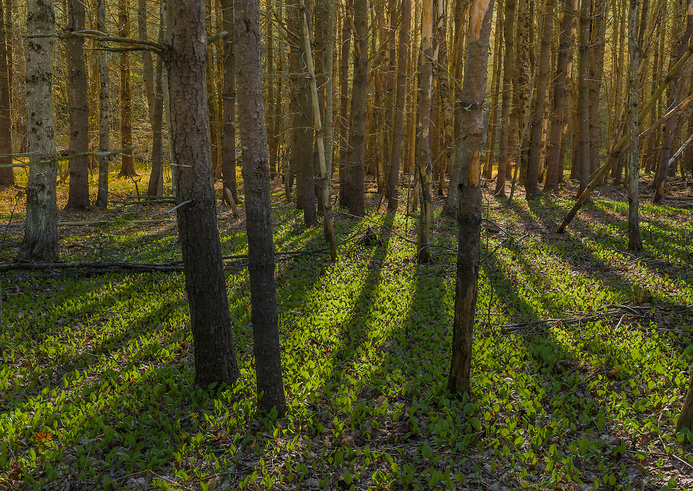 Forest floor with spring greens, wild Lily-of-the-valley and shadow patterns, Bridgewater, NH